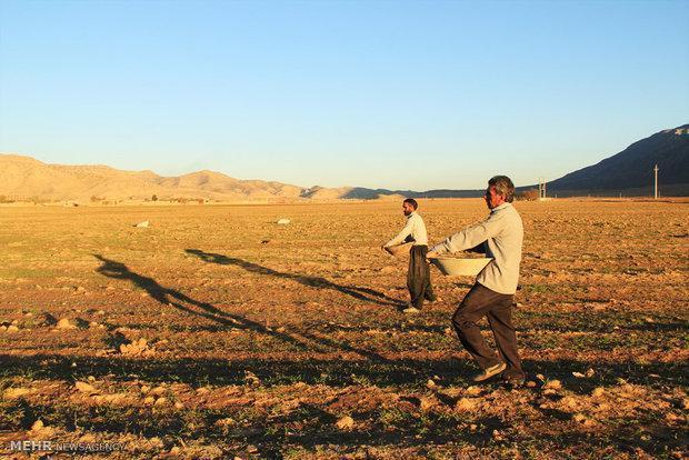 سطح کشت گندم در شهرستان شادگان به 24 هزار هکتار افزایش یافت