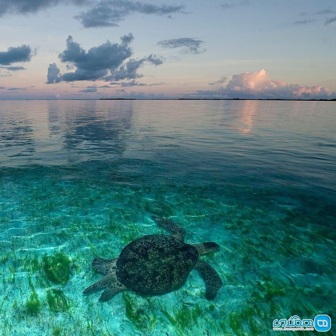 لاکپشت های سبز در علف های دریایی سیشل
