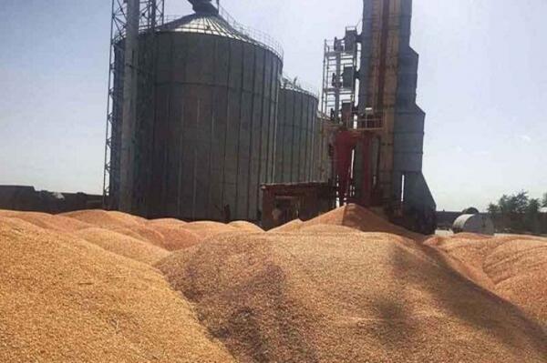 فراوری و ارسال بیش از 100 هزار تن گندم از قزوین به سایر استان ها
