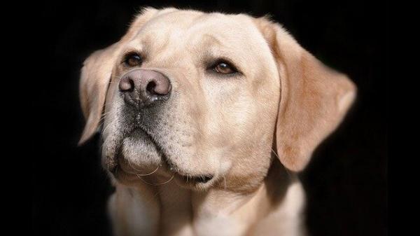 شناسایی نمونه مثبت کرونا توسط سگ ها با دقت 96 درصد