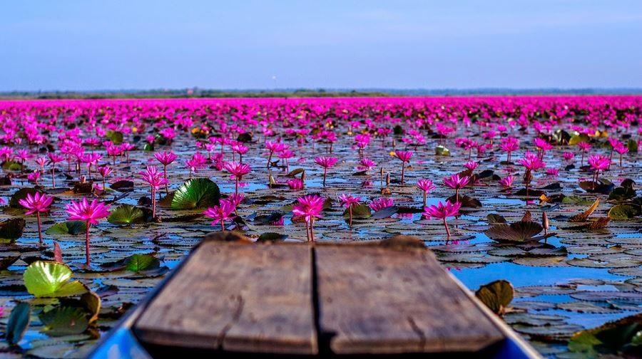 دریاچه نیلوفر در تایلند